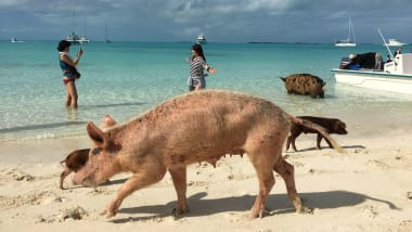 http___cdn.cnn.com_cnnnext_dam_assets_181007112502-07-piggies-of-paradise